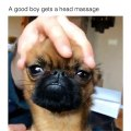 Quand un french-bulldog reçoit un massage du crane, voici ce que ça donne. Hilarant !
