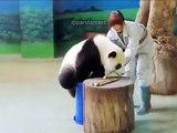 Trop drôle ! Regardez comment ce panda va tomber au sol !