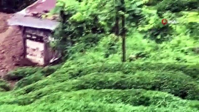 Boz ayıdan sonra karaca da çay tarlasında görüntülendi