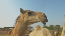 Camel Dung Is Being Used To Power Coal Plants