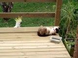 Un perroquet vient embeter un chat... tellement drôle