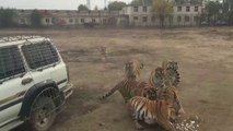 Ces tigres savent quand c'est l'heure du repas...