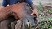 Group Of Rescue Workers Save A Trapped Horse