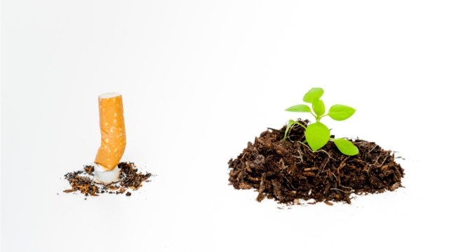 Cigarette Butts Stunt The Growth Of Plants