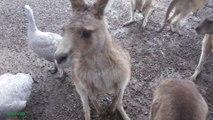Cangurus e Demônios da Tasmânia - Port Arthur Australia - EMVB - Emerson Martins Video Blog 2013