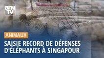 Saisie record de défenses d'éléphants à Singapour
