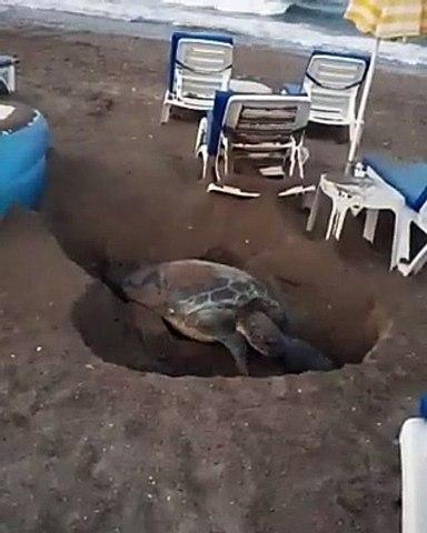 Utandıran haber: Yumurta bırakmak için kumsala çıkan kaplumbağa gitti