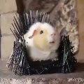 Ce hamster est le roi du trône de fer. A mourir de rire !