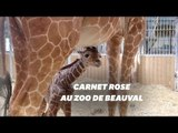 Naissance de la girafe Kimia au Zoo de Beauval