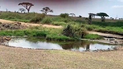 Fail d'une lionne lors dune attaque de gazelle