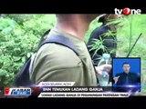 BNN Temukan Ladang Ganja 1 Hektar di Pegunungan Aceh Selatan