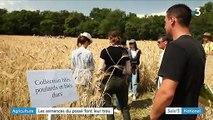 Agriculture : cultiver avec des blés oubliés