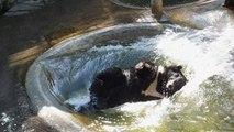 Un ours se rafraîchit avec un joli plongeon arrière