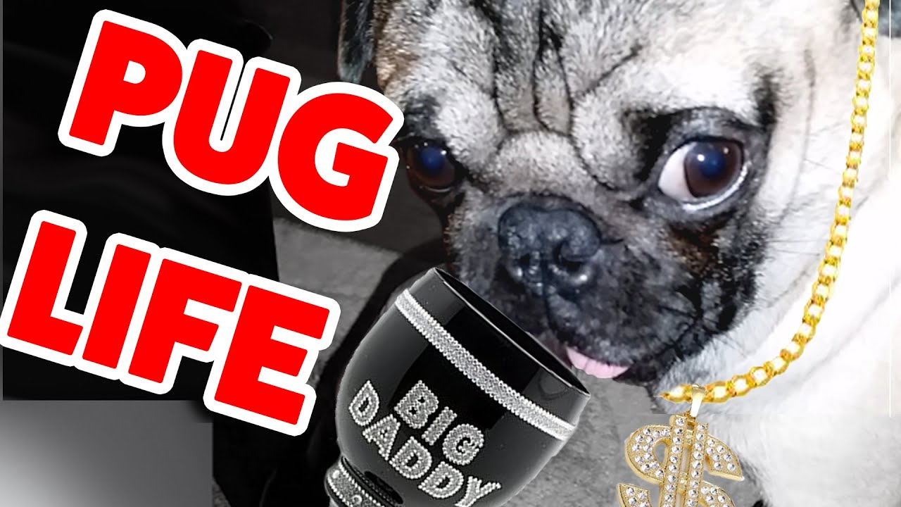 Pug Life- The Funniest – Cutest Pug Home Videos Weekly Compilation – Funny Pet Videos