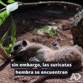 A simple vista parecen tiernas e inofensivas, pero las suricatas hembra matan a la mayoría de sus crías