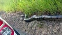 Des automobilistes brésiliens découvrent un énorme anaconda sur le bord de la route