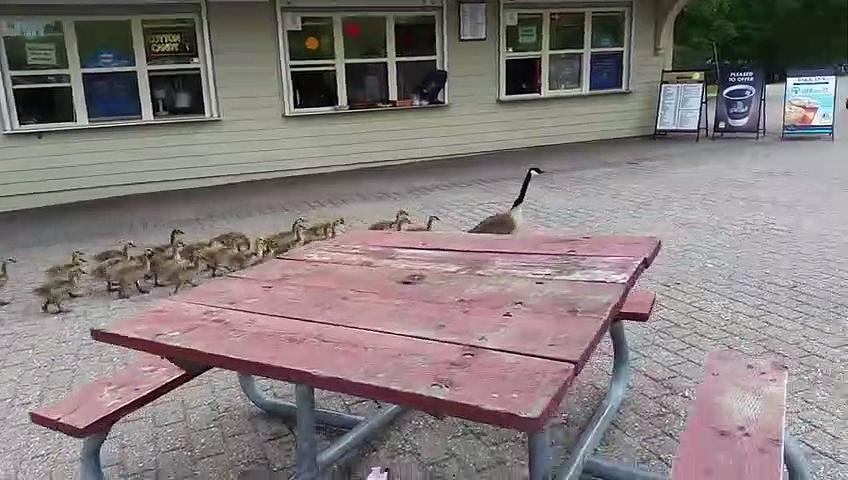 Canada geese walking their goslings to school