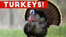 Funniest Gobbling Turkey Video Compilation November 2016 - Funny Pet Videos