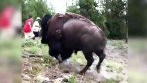 Bisonte embista a una niña y la lanza por los aires
