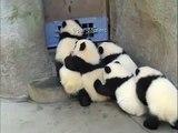 Quand des bébés pandas sont effrayés, voici ce que ce qui arrive !