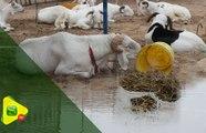 Tabaski 2019 : les vendeurs de moutons   surpris par la pluie d'hier
