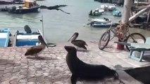 Pelicans, otaries, mouettes, ils viennent tous demander du poisson au marché... Adorable