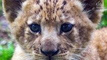On vous présente Bahati, le lionceau filmé pour le Roi Lion