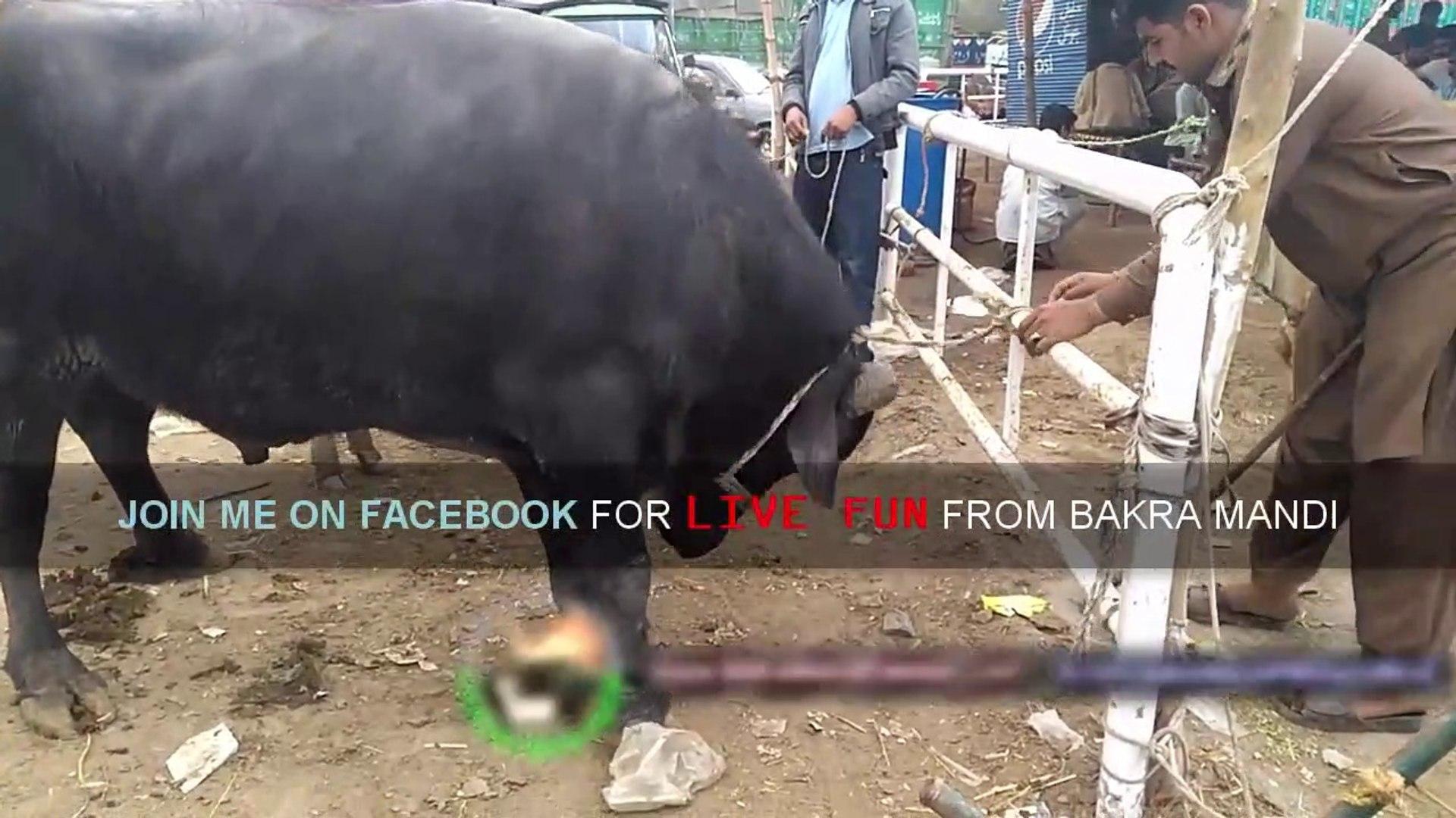 Sanda Qurbani 2017 Lahore Mandi Maveshi Shahpur Kanjra - BakraEid in  Pakistan Cow Mandi Video