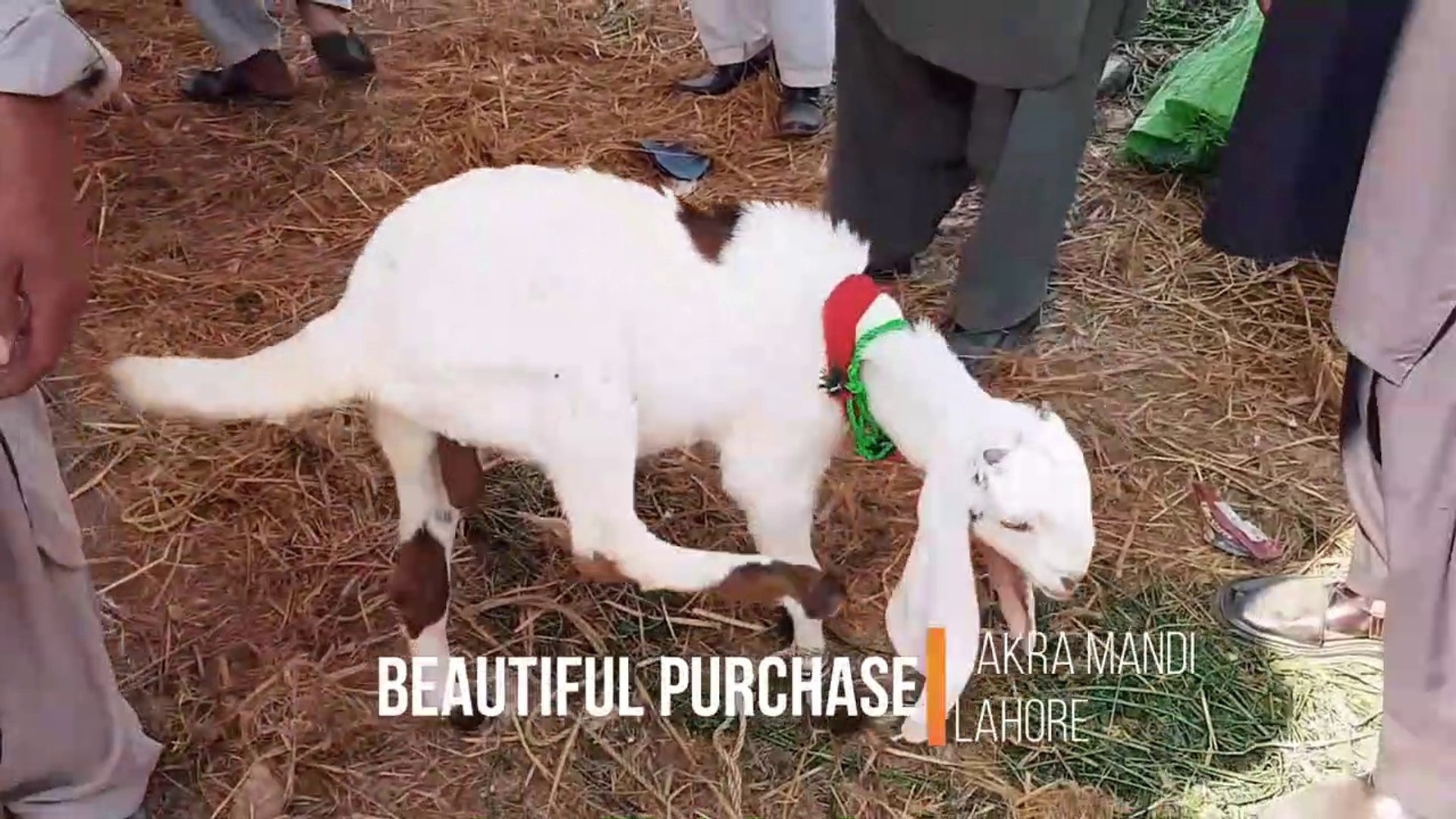 SOODA KERWAYA DIYA BY HAMMAD IN LAHORE BAKRA MANDI FOR BAKRA EID 2018