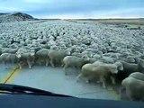Cet automobiliste croise un énorme troupeau de mouton... Interminable