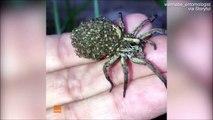 Cette araignée porte ses milliers de bébés sur son dos... Adorable ou terrifiant