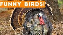 Funny Turkey - Bird Videos Weekly Compilation 2017 - Funny Pet Videos