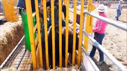 Rodéo sur taureau à Simard pour la fête de l'agriculture