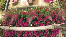 Canicule ? Arrosez-vous avec les fleurs !