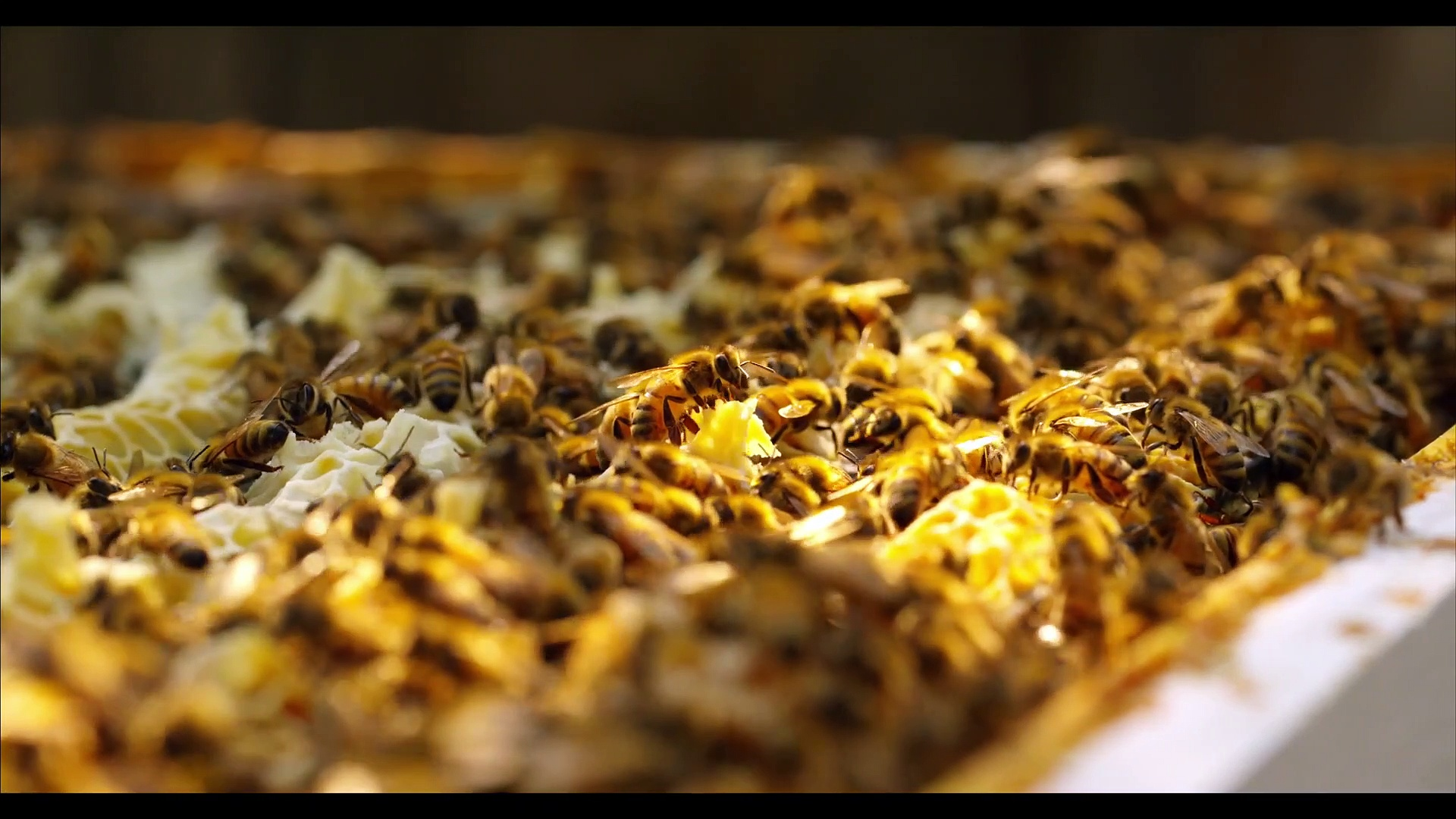 Jacob Schwarz 4K Video – Honey Bees in 4K UHD 60 FPS