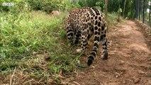 Jaguar Orphan Fights Mystery Illness - Jaguars Born Free - Documentary
