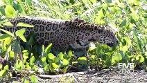 Un jaguar en pleine chasse au crocodile... Impressionnant