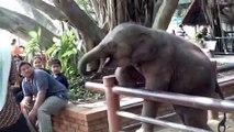 Ce petit éléphanteau est très joueur avec les touristes... Adorable