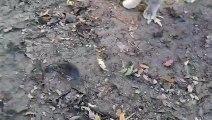 VU - ZAPPING ! Une poule donne une leçon de chasse à un chat