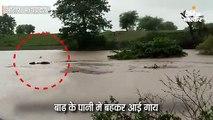 बाढ़ में बहकर आई गाय, बचाने के लिए उफनती नदी में कूद गए दो युवक