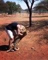 Les lions sont juste de grands chats. En voici une belle preuve !