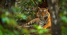 Le nombre de tigres sauvages en Inde a augmenté de 30% en l'espace de quatre ans