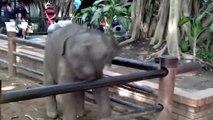 Adorable : un éléphanteau s'amuse avec les touristes