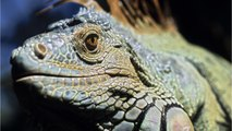 After Iguana Hunter Accidentally Shoots Man, State Clarifies 'Kill Whenever Possible' Directive