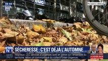 À Paris, les feuilles mortes recouvrent déjà les trottoirs à cause de la sécheresse et la canicule
