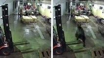 Un ours fait irruption dans une usine de poissons