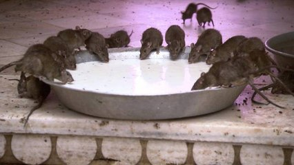 Would You Drink the Milk at This Indian Rat Temple?