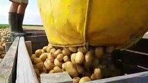 Récolte de pommes de terre à Faronville (Loiret)