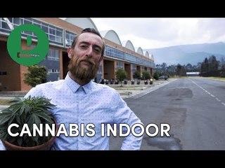 Esta es la planta que produce un cannabis medicinal que vale oro