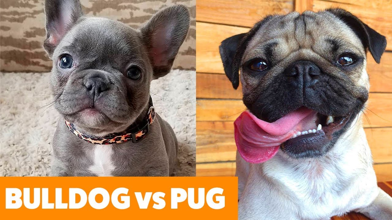 Bulldog vs. Pug – What To Expect- – Funny Pet Videos